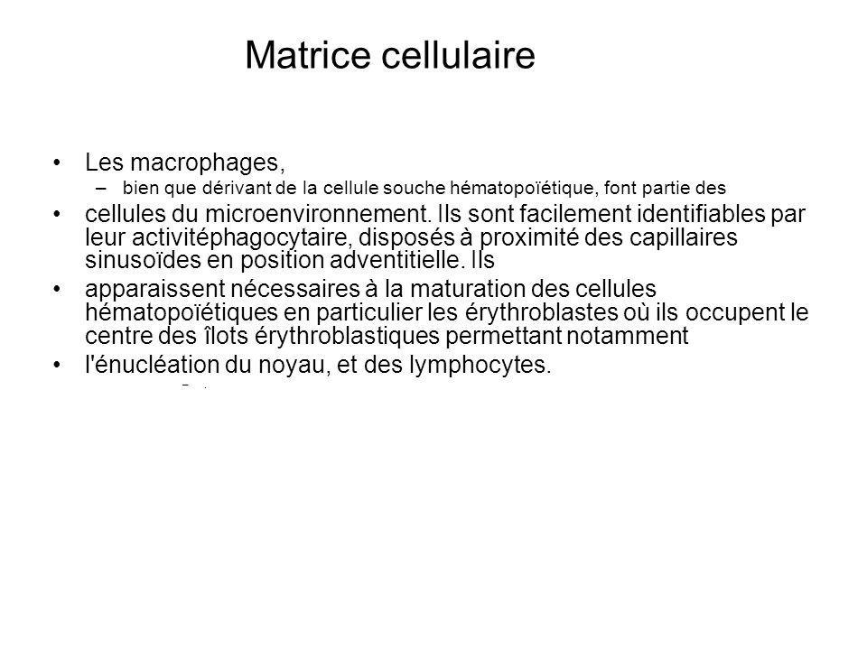 Matrice cellulaire Les macrophages,