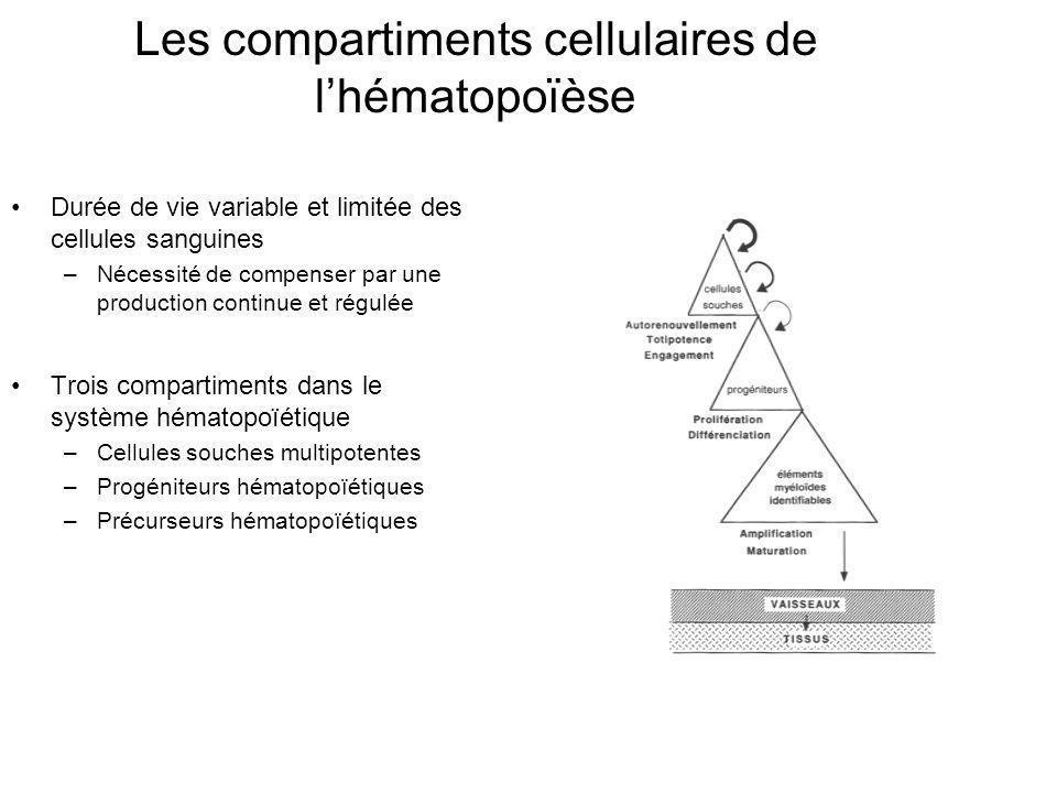 Les compartiments cellulaires de l'hématopoïèse