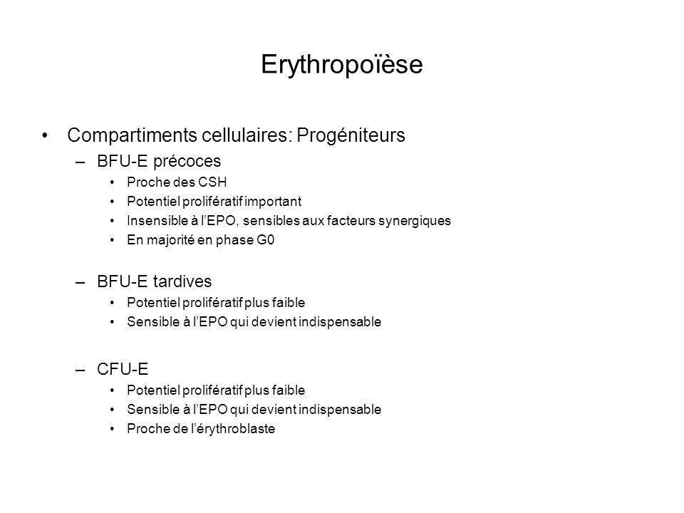 Erythropoïèse Compartiments cellulaires: Progéniteurs BFU-E précoces