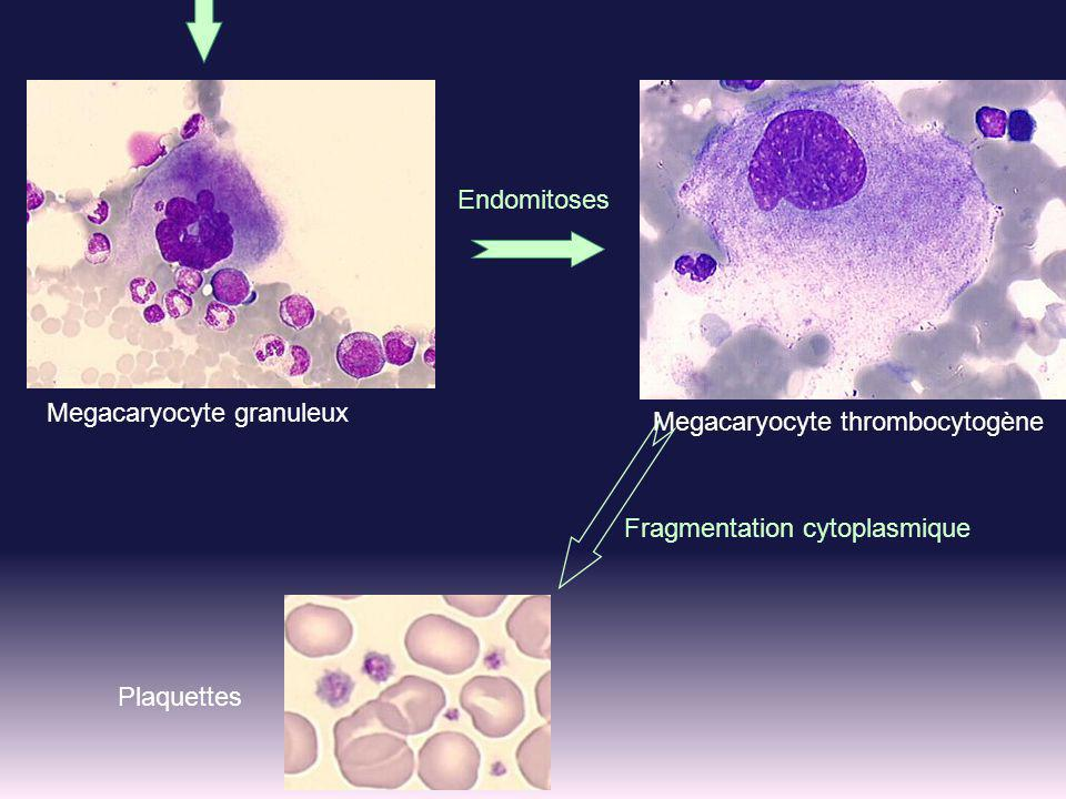 Megacaryocyte thrombocytogène
