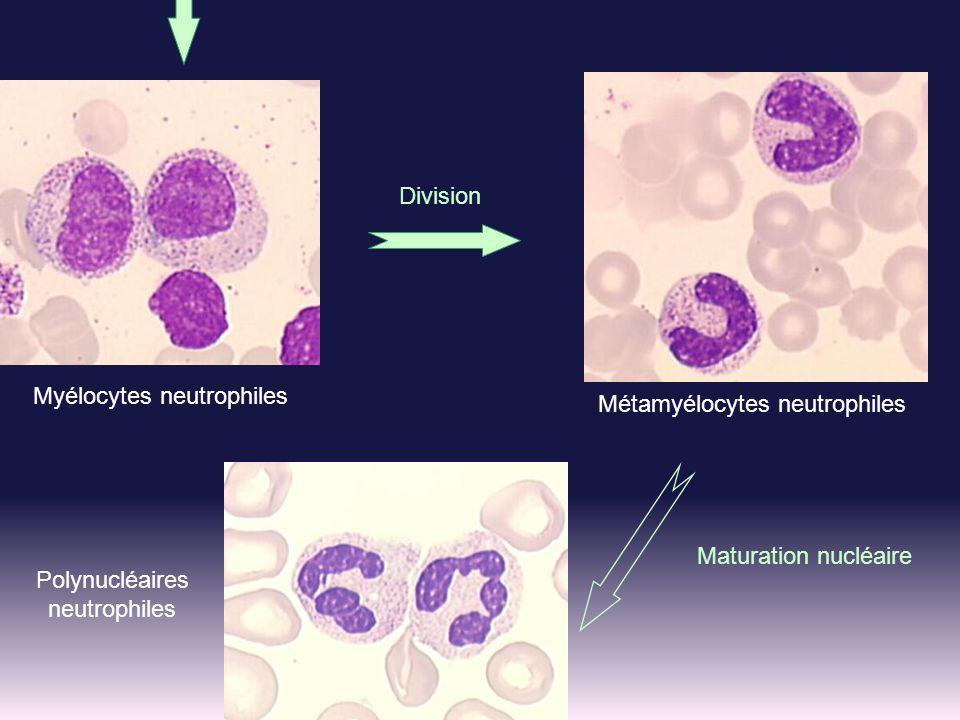 Myélocytes neutrophiles Métamyélocytes neutrophiles