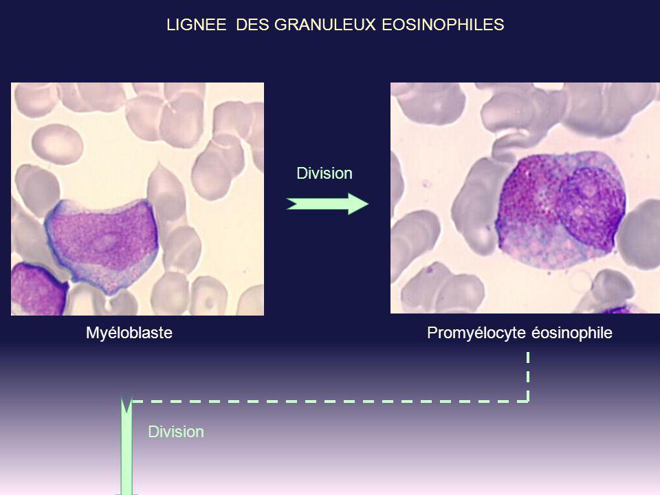 LIGNEE DES GRANULEUX EOSINOPHILES