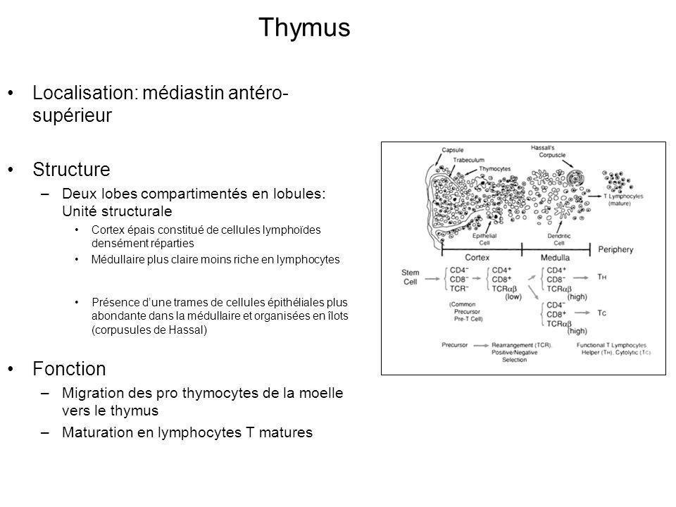 Thymus Localisation: médiastin antéro-supérieur Structure Fonction