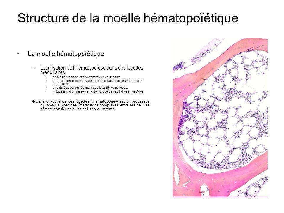 Structure de la moelle hématopoïétique