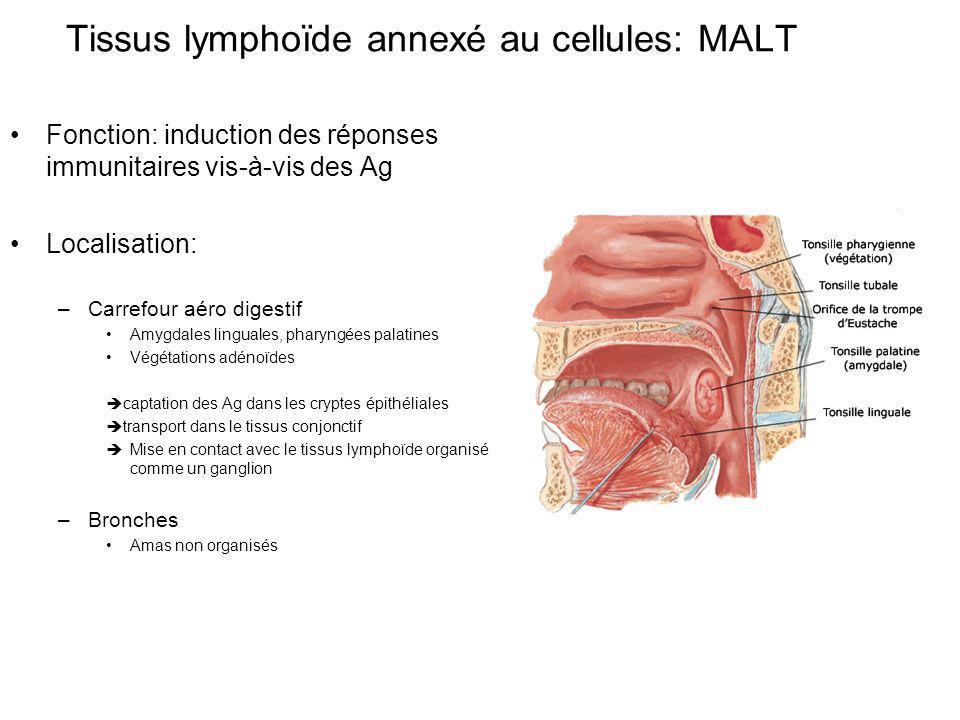 Tissus lymphoïde annexé au cellules: MALT