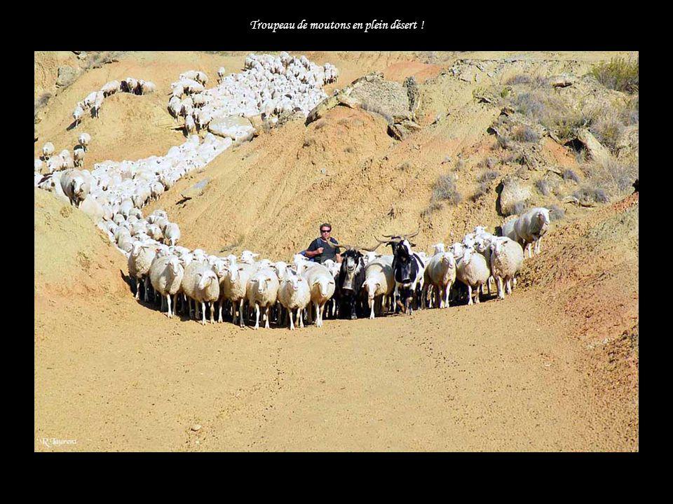 Troupeau de moutons en plein désert !