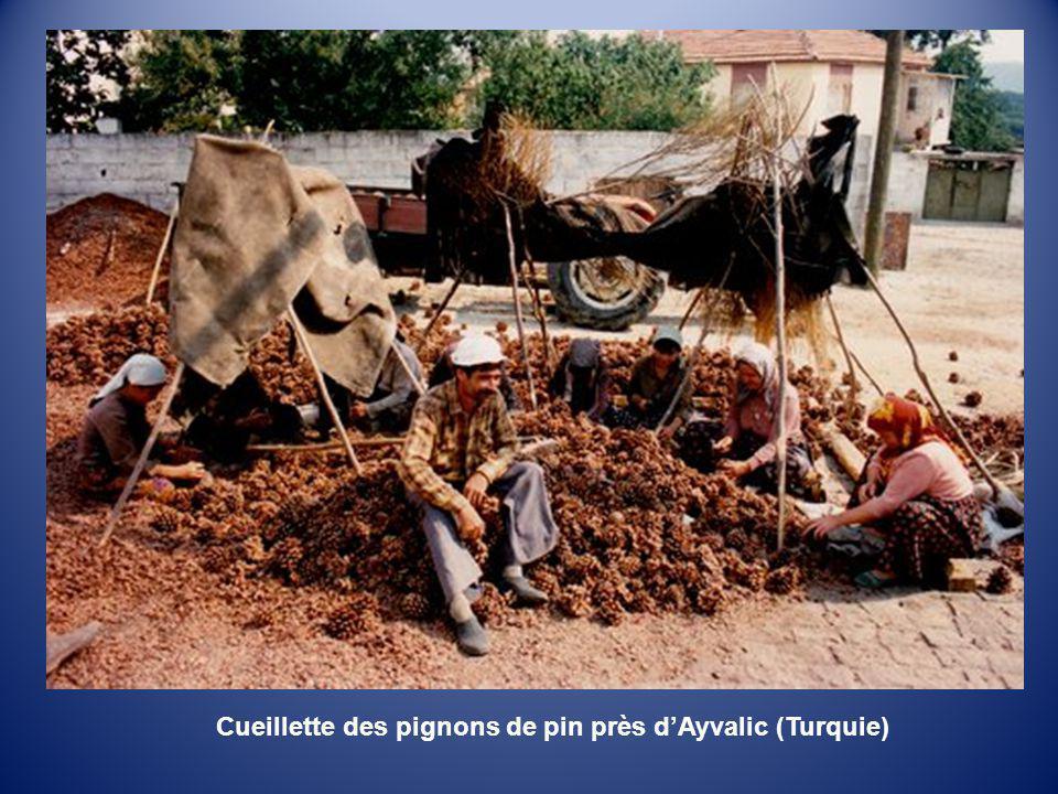Cueillette des pignons de pin près d'Ayvalic (Turquie)