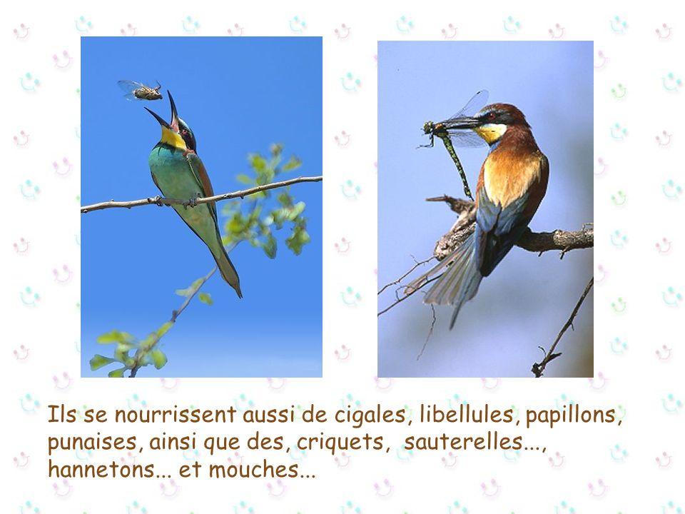 Ils se nourrissent aussi de cigales, libellules, papillons, punaises, ainsi que des, criquets, sauterelles..., hannetons...