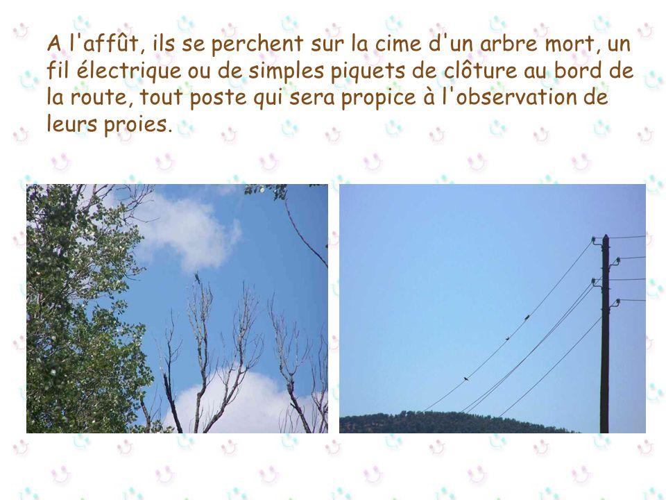 A l affût, ils se perchent sur la cime d un arbre mort, un fil électrique ou de simples piquets de clôture au bord de la route, tout poste qui sera propice à l observation de leurs proies.