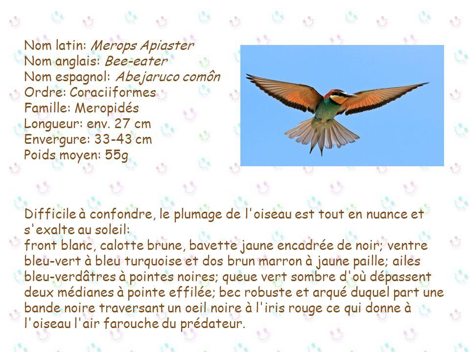 Nom latin: Merops Apiaster Nom anglais: Bee-eater Nom espagnol: Abejaruco comôn Ordre: Coraciiformes Famille: Meropidés Longueur: env. 27 cm Envergure: 33-43 cm Poids moyen: 55g