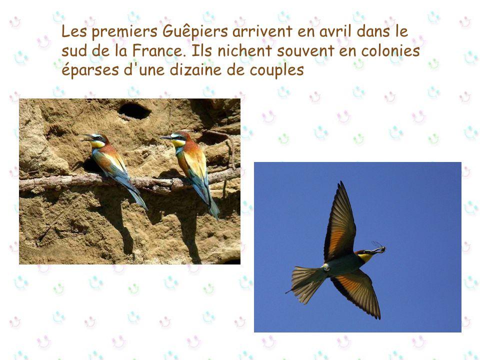 Les premiers Guêpiers arrivent en avril dans le sud de la France