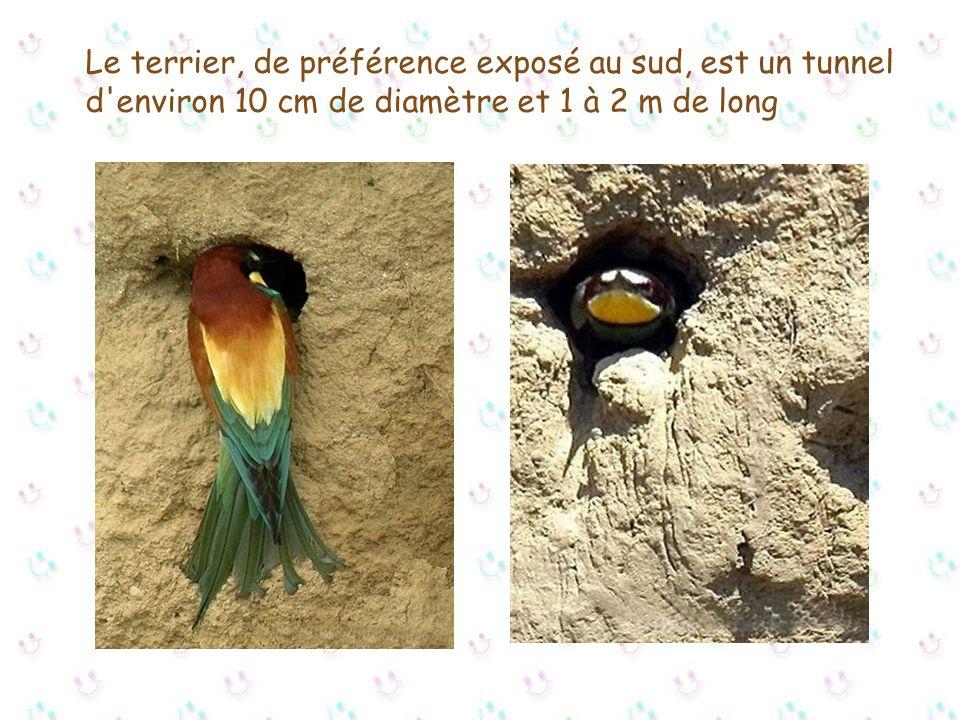 Le terrier, de préférence exposé au sud, est un tunnel d environ 10 cm de diamètre et 1 à 2 m de long