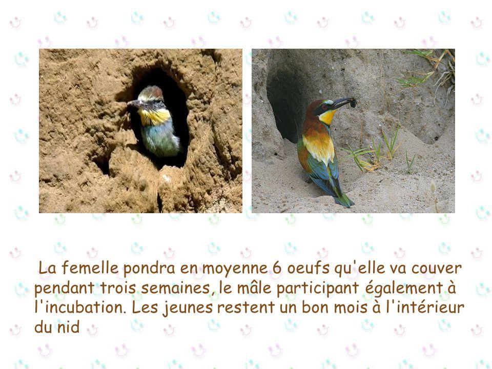 La femelle pondra en moyenne 6 oeufs qu elle va couver pendant trois semaines, le mâle participant également à l incubation.