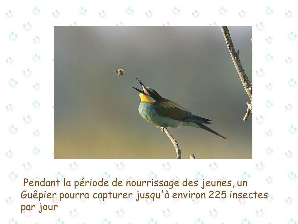Pendant la période de nourrissage des jeunes, un Guêpier pourra capturer jusqu à environ 225 insectes par jour