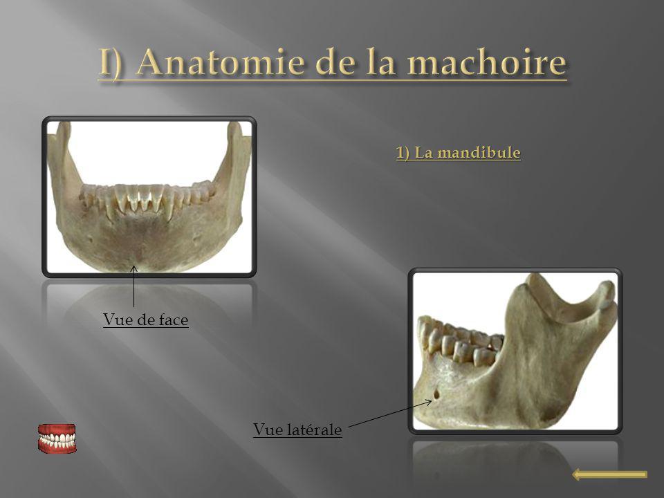 I) Anatomie de la machoire