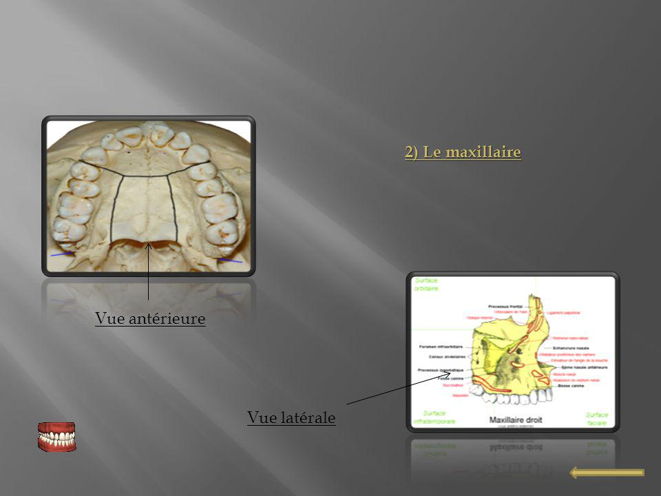 2) Le maxillaire Vue antérieure Vue latérale