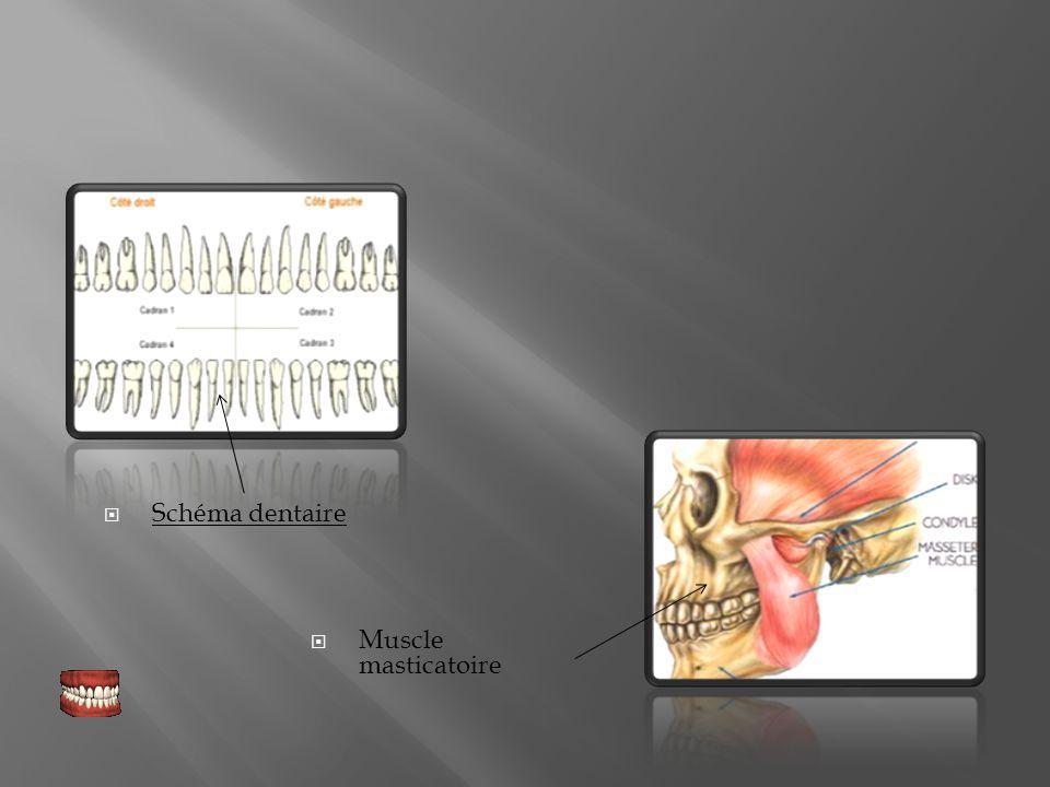 Schéma dentaire Muscle masticatoire