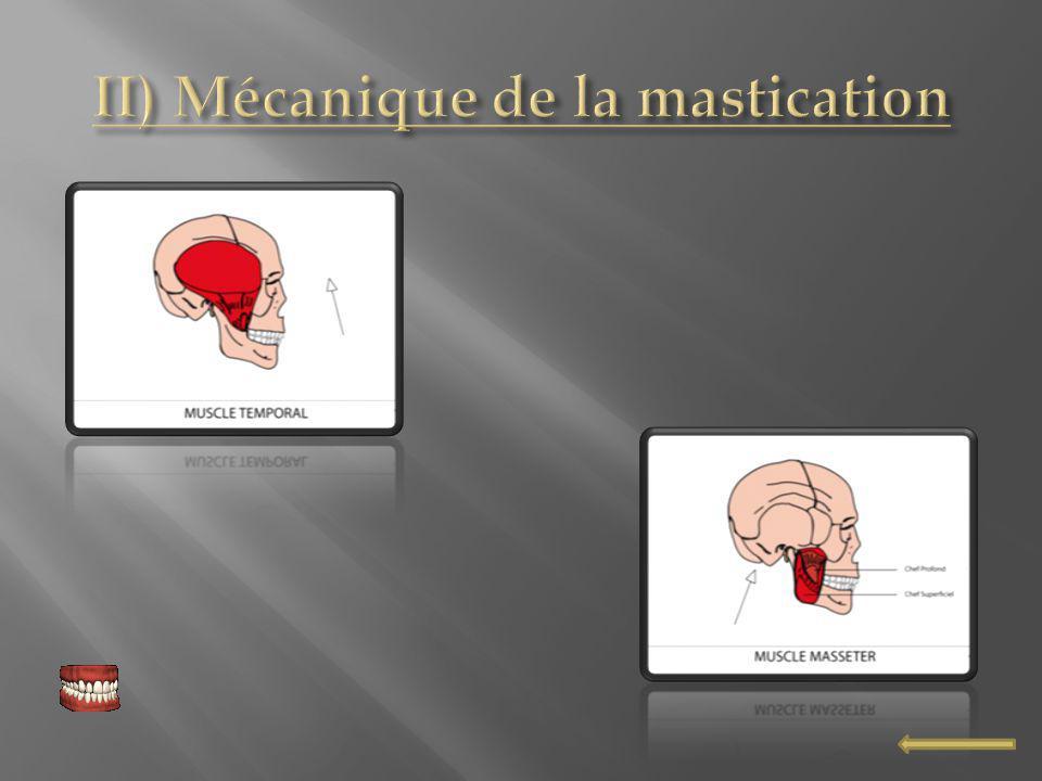 II) Mécanique de la mastication