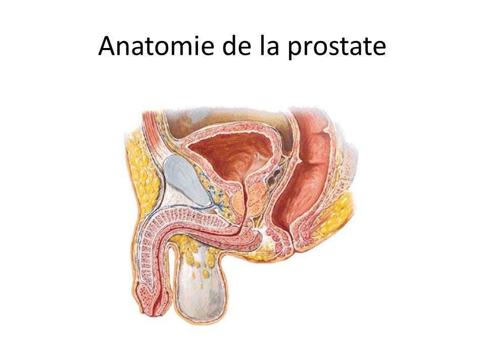 Anatomie de la prostate