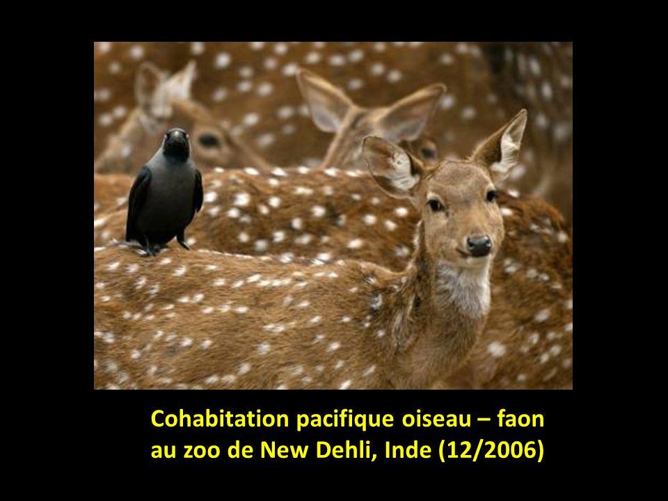 Cohabitation pacifique oiseau – faon au zoo de New Dehli, Inde (12/2006)