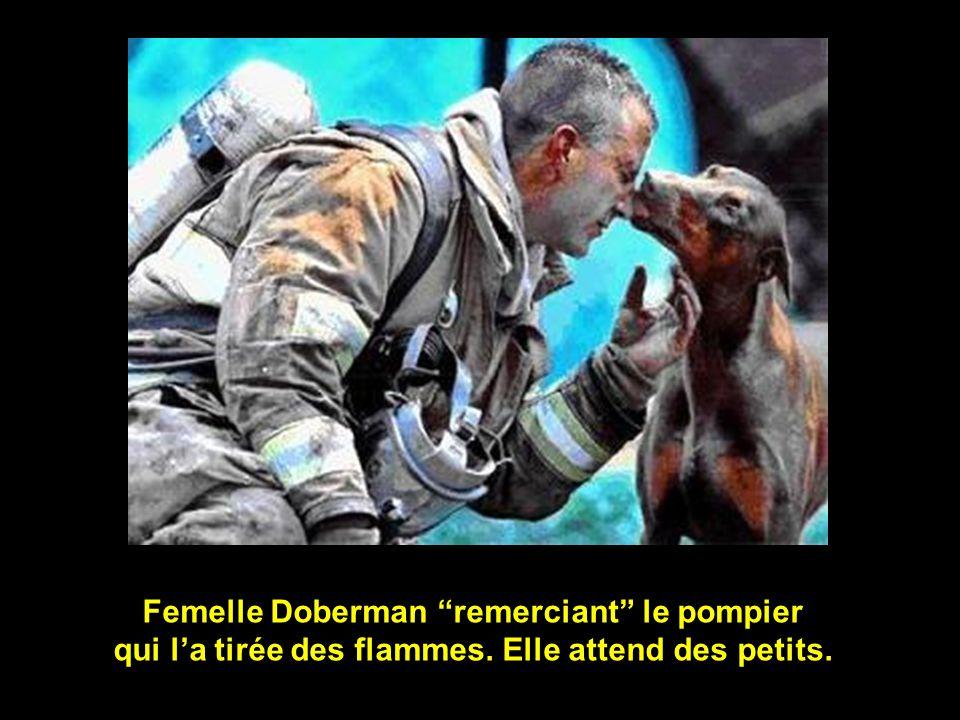 Femelle Doberman remerciant le pompier