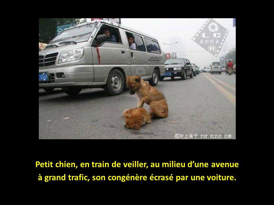 Petit chien, en train de veiller, au milieu d'une avenue à grand trafic, son congénère écrasé par une voiture.
