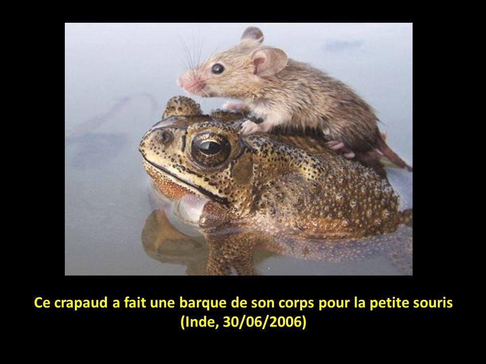 Ce crapaud a fait une barque de son corps pour la petite souris (Inde, 30/06/2006)
