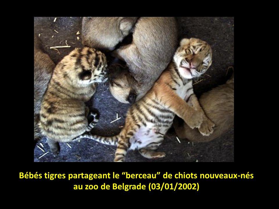 Bébés tigres partageant le berceau de chiots nouveaux-nés au zoo de Belgrade (03/01/2002)
