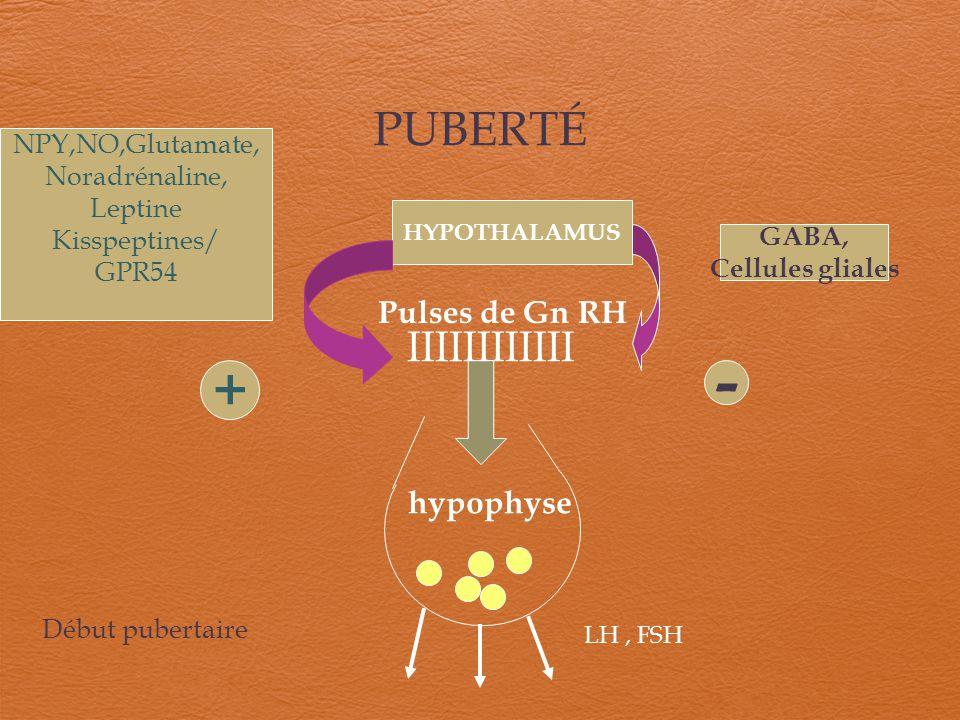 - + PUBERTÉ IIIIIIIIIIII Pulses de Gn RH hypophyse NPY,NO,Glutamate,