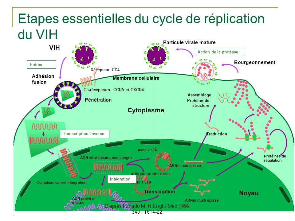 Etapes essentielles du cycle de réplication du VIH