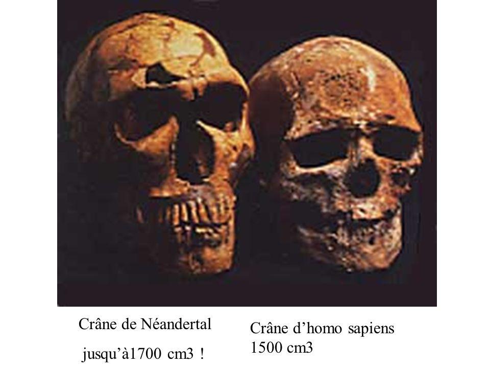 Crâne d'homo sapiens 1500 cm3