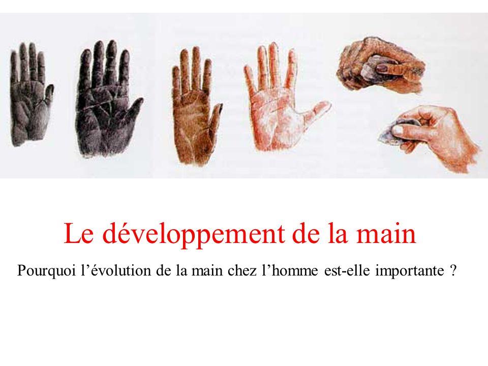 Le développement de la main