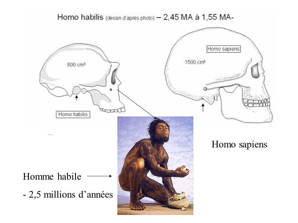 Homo sapiens. Homme habile.