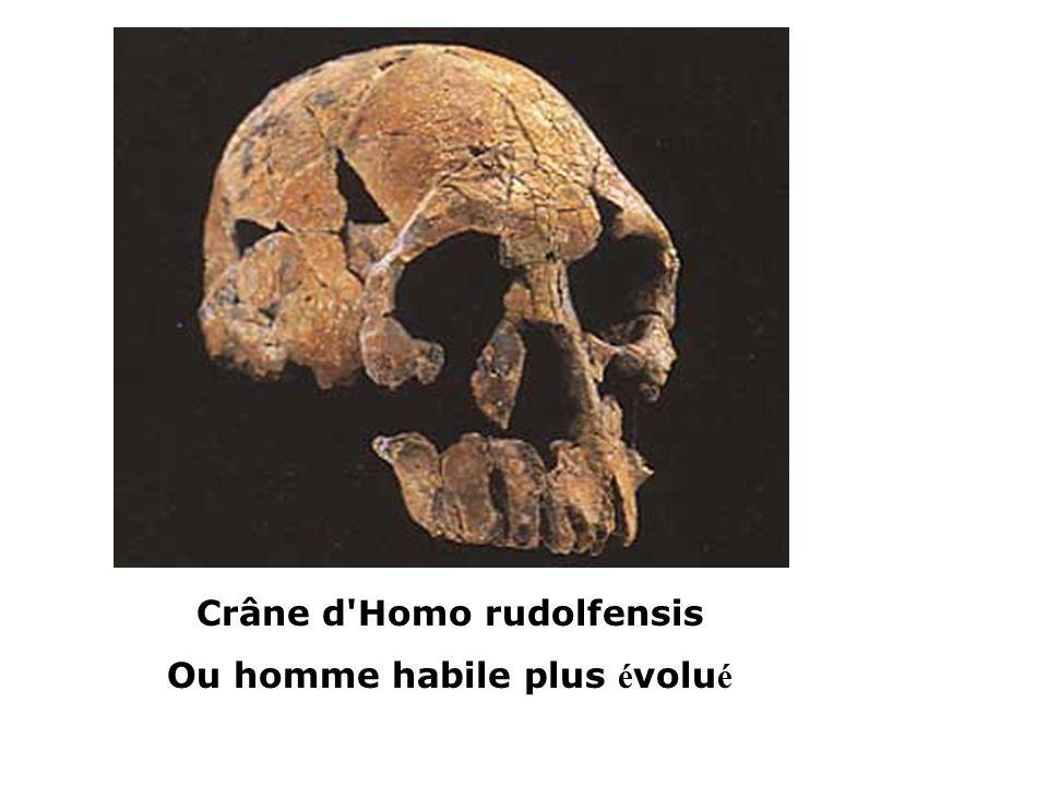 Crâne d Homo rudolfensis Ou homme habile plus évolué