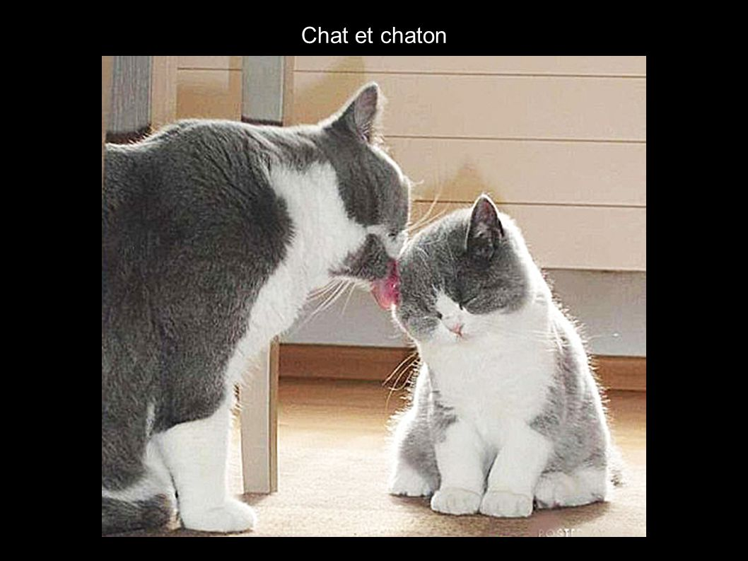 Chat et chaton