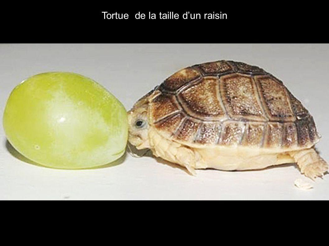 Tortue de la taille d'un raisin