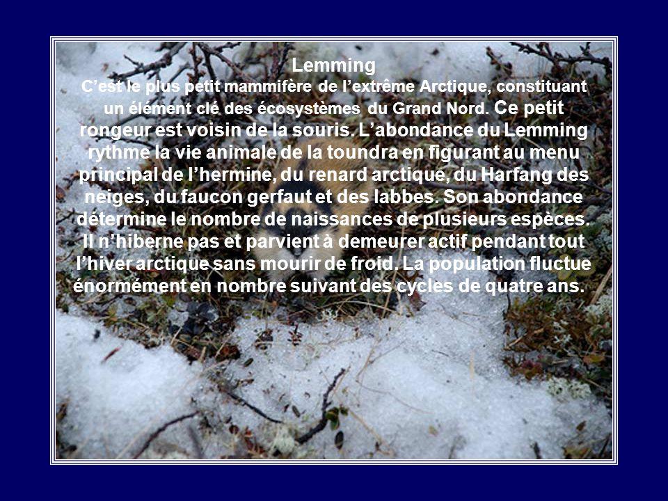 Lemming C'est le plus petit mammifère de l'extrême Arctique, constituant un élément clé des écosystèmes du Grand Nord.