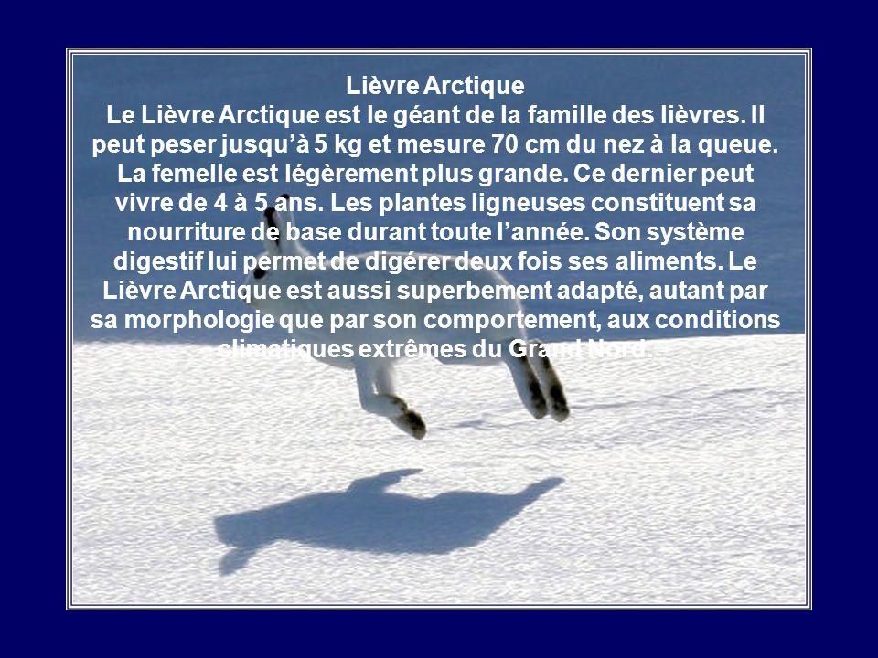 Lièvre Arctique Le Lièvre Arctique est le géant de la famille des lièvres.