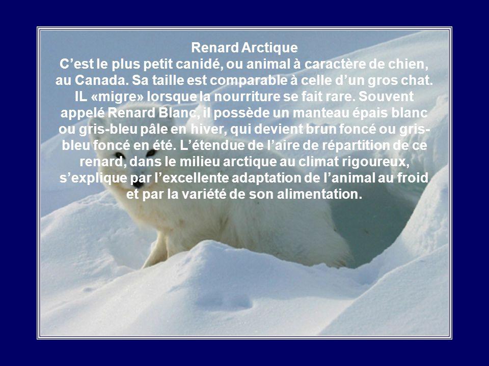Renard Arctique C'est le plus petit canidé, ou animal à caractère de chien, au Canada.