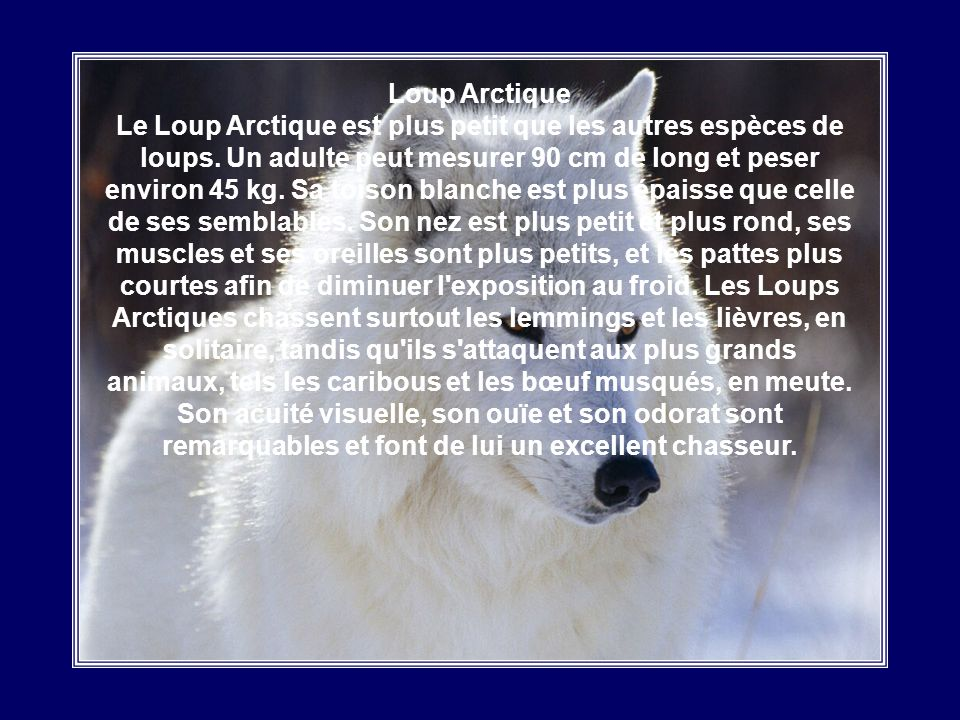 Loup Arctique Le Loup Arctique est plus petit que les autres espèces de loups.