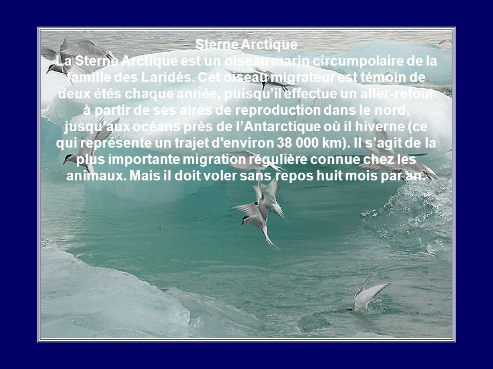 Sterne Arctique La Sterne Arctique est un oiseau marin circumpolaire de la famille des Laridés.