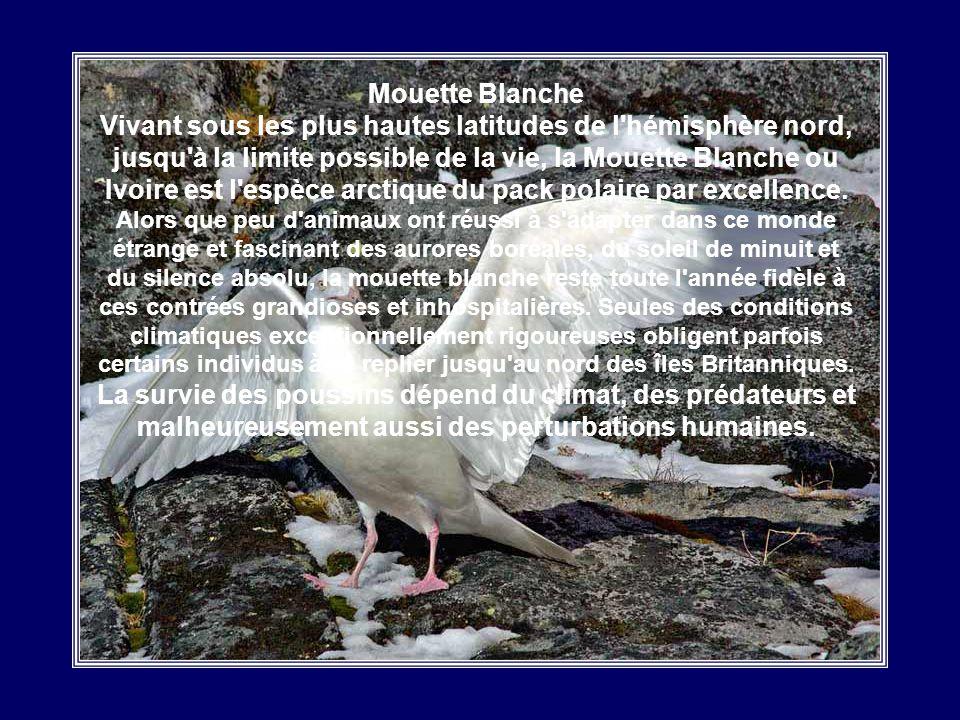 Mouette Blanche Vivant sous les plus hautes latitudes de l hémisphère nord, jusqu à la limite possible de la vie, la Mouette Blanche ou Ivoire est l espèce arctique du pack polaire par excellence.