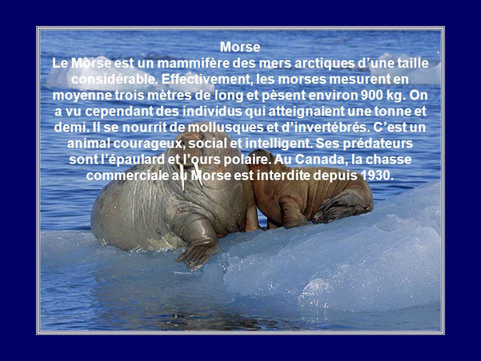Morse Le Morse est un mammifère des mers arctiques d'une taille considérable.