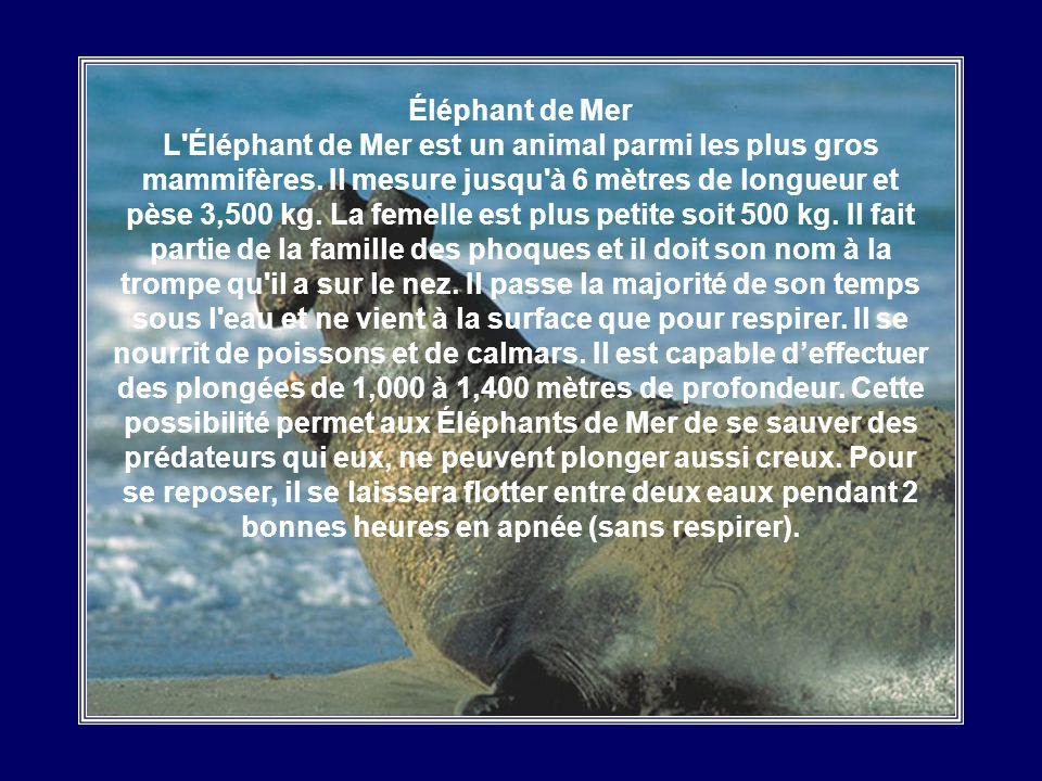 Éléphant de Mer L Éléphant de Mer est un animal parmi les plus gros mammifères.