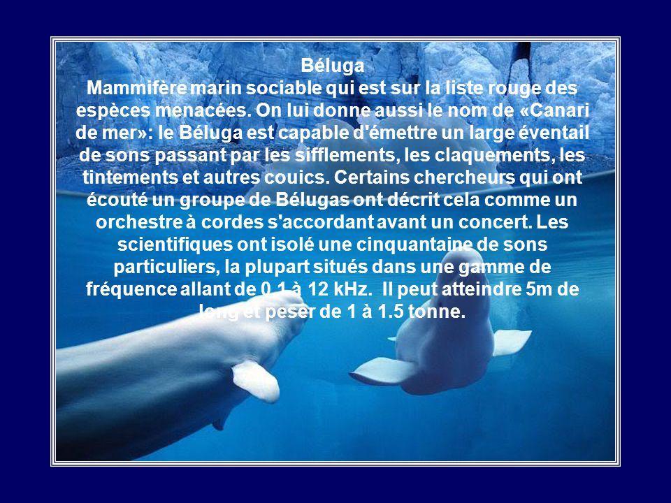 Béluga Mammifère marin sociable qui est sur la liste rouge des espèces menacées.