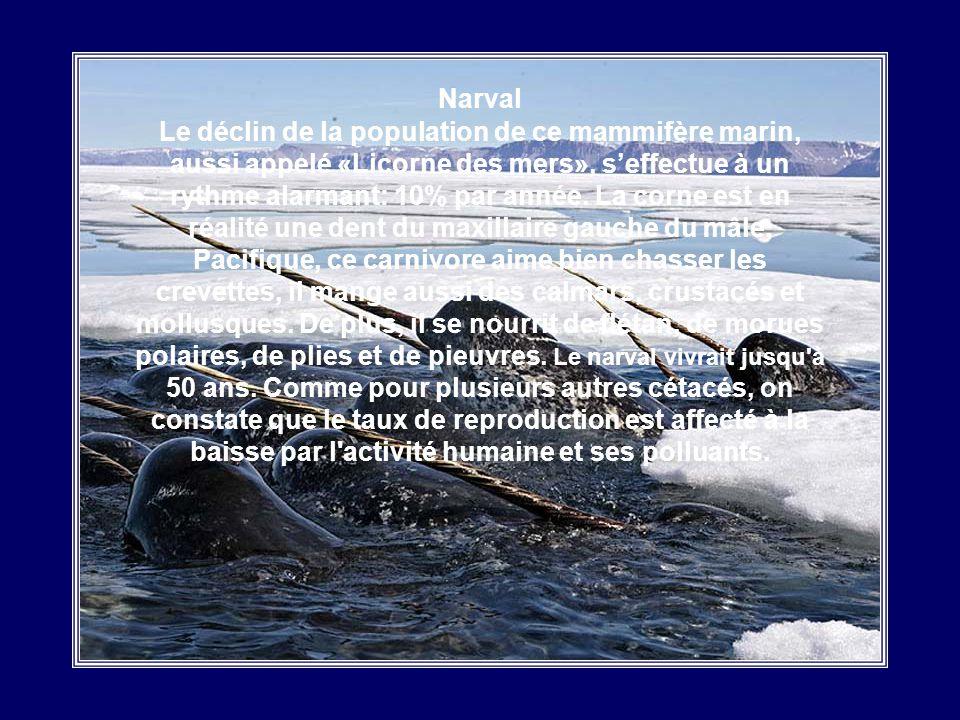 Narval Le déclin de la population de ce mammifère marin, aussi appelé «Licorne des mers», s'effectue à un rythme alarmant: 10% par année.