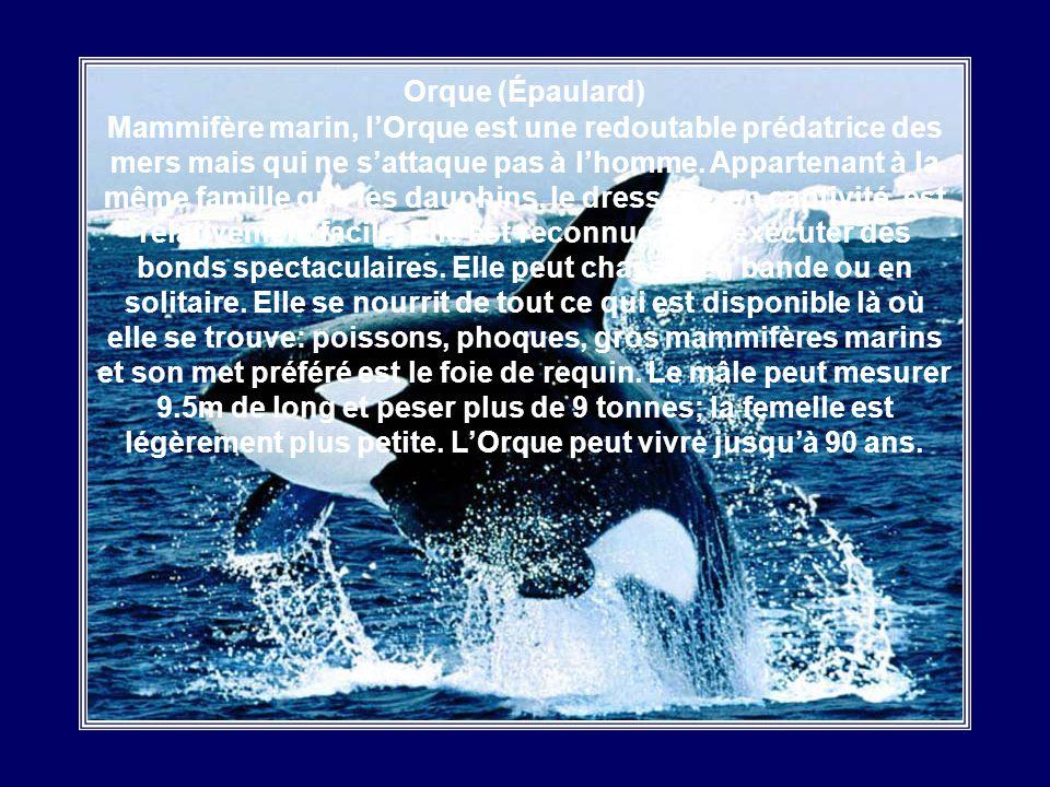 Orque (Épaulard) Mammifère marin, l'Orque est une redoutable prédatrice des mers mais qui ne s'attaque pas à l'homme.