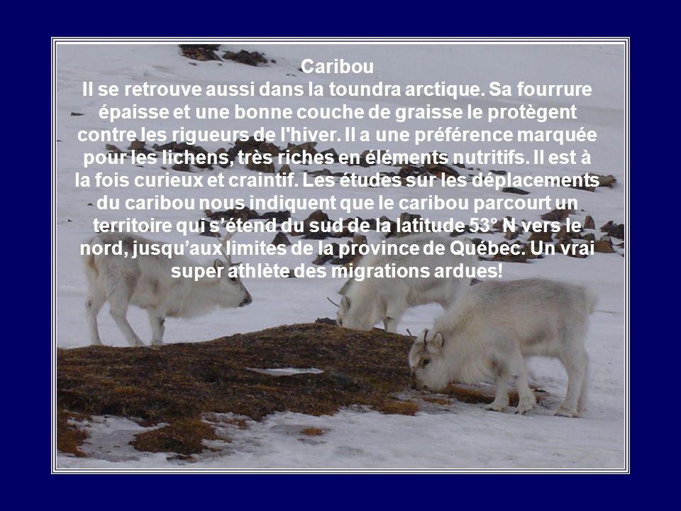 Caribou Il se retrouve aussi dans la toundra arctique