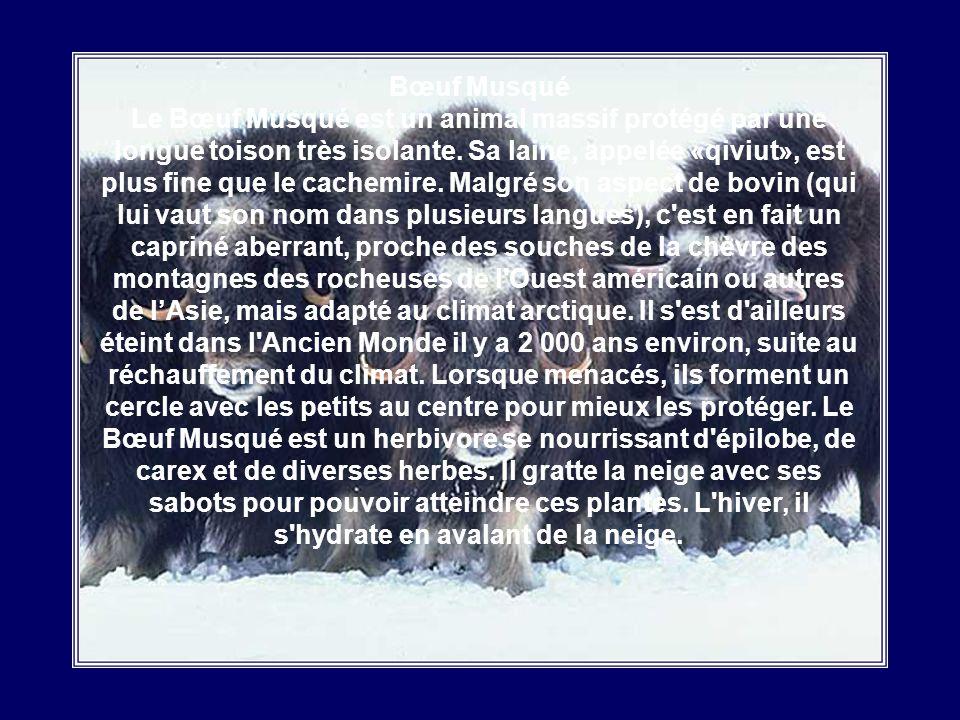 Bœuf Musqué Le Bœuf Musqué est un animal massif protégé par une longue toison très isolante.