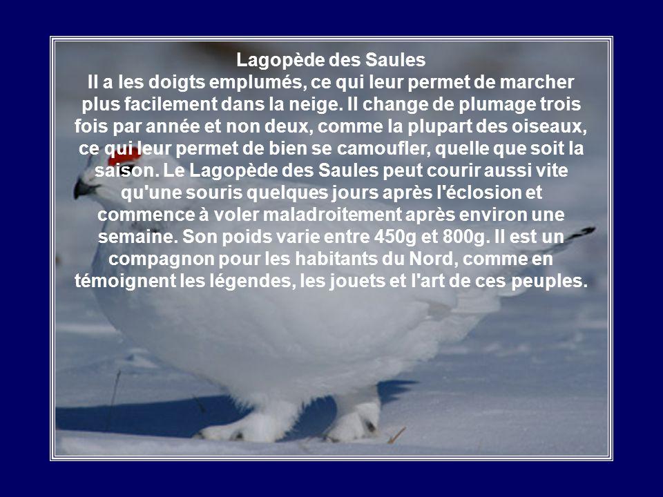 Lagopède des Saules Il a les doigts emplumés, ce qui leur permet de marcher plus facilement dans la neige.